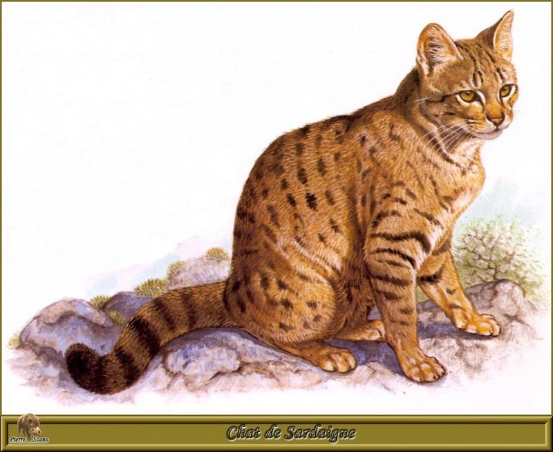 Chat de Sardaigne. Robert Dallet