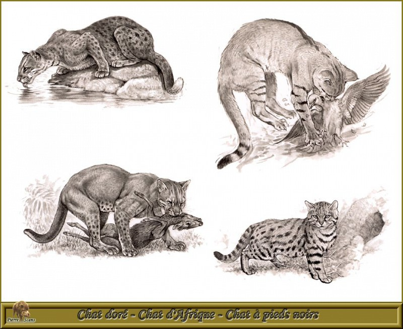 PO pfrd 129 Chat dorй Chat dAfrique Chat а pieds noirs. Robert Dallet