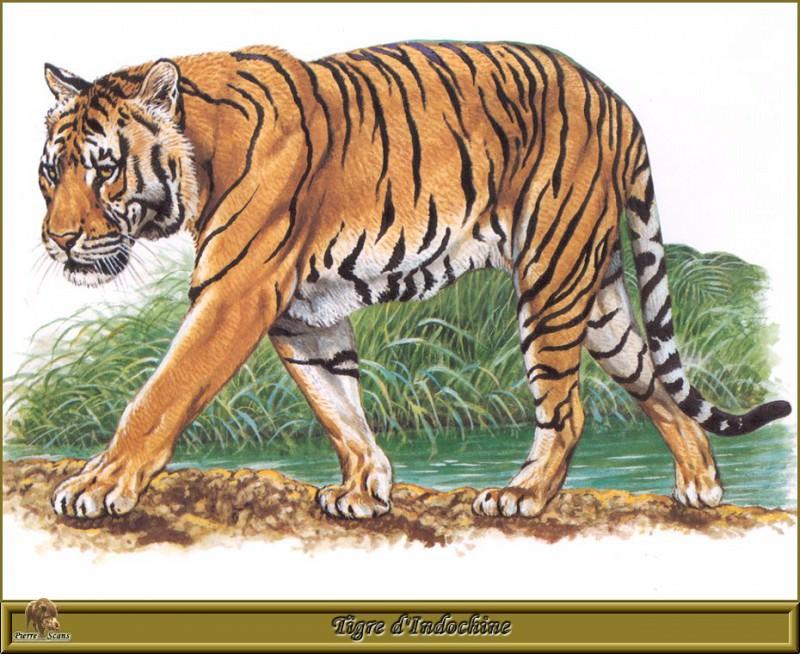 Индокитайский тигр. Роберт Даллет
