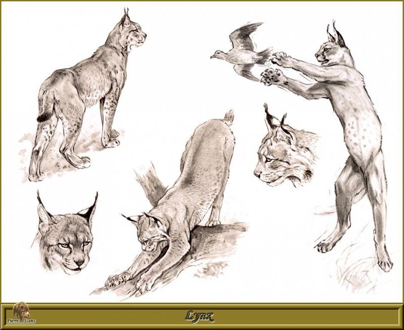 Lynx. Robert Dallet
