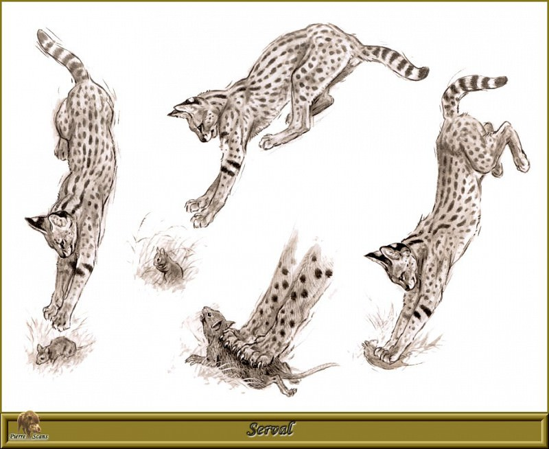 Serval. Robert Dallet