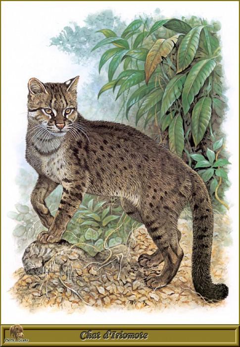 Дикая кошка с острова Ориомоте. Роберт Даллет