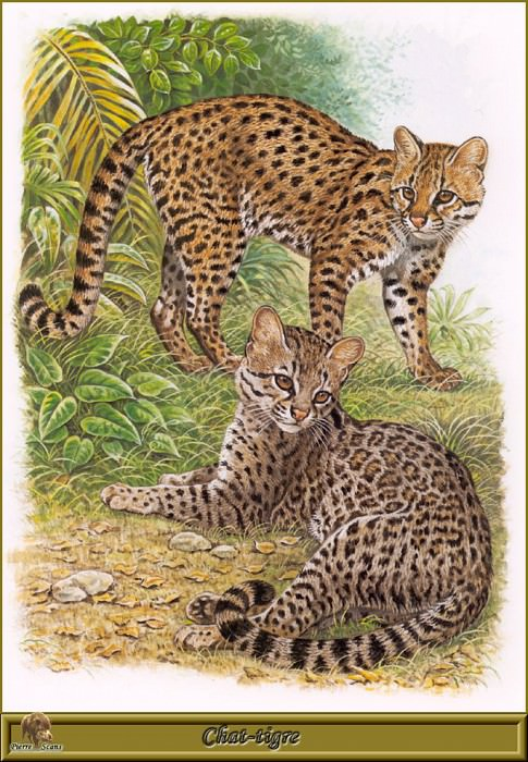 Chat tigre. Robert Dallet
