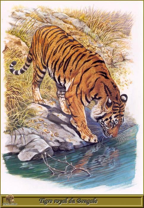 Королевский бенгальский тигр. Роберт Даллет