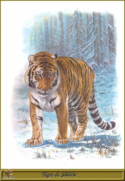 Tigre de Sibйrie. Robert Dallet