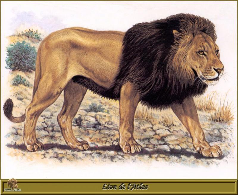 Lion de lAtlas. Robert Dallet