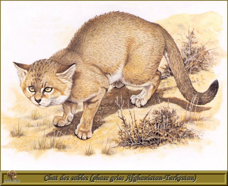 Песчаная дикая кошка (период серого цвета шкуры, Афганистан, Туркмения). Роберт Даллет