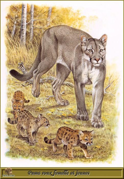 Рыжая пума - самка с котятами. Роберт Даллет