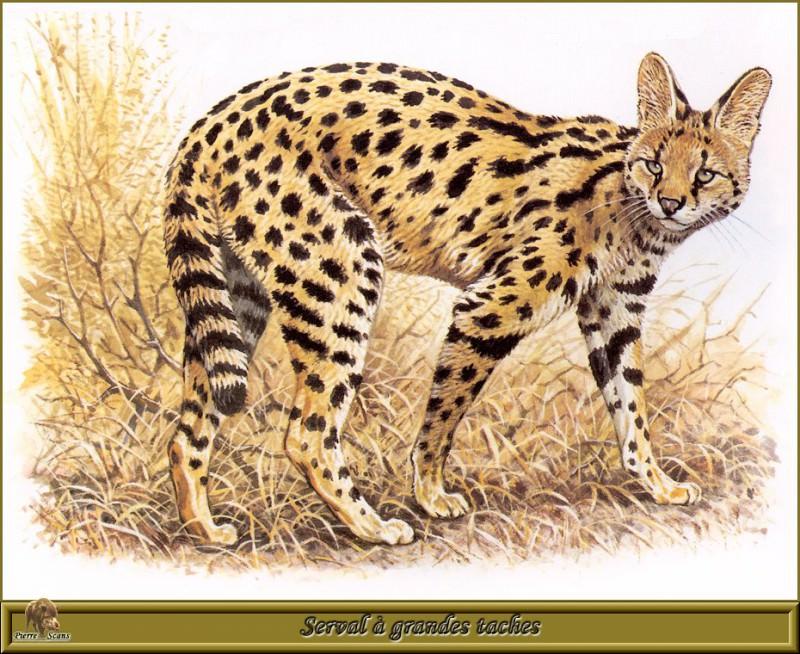 Serval а grandes taches. Robert Dallet
