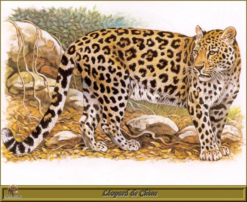 Китайский леопард. Роберт Даллет