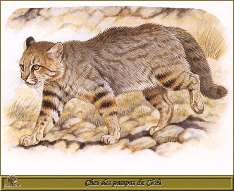 Chat des pampas du Chili. Robert Dallet