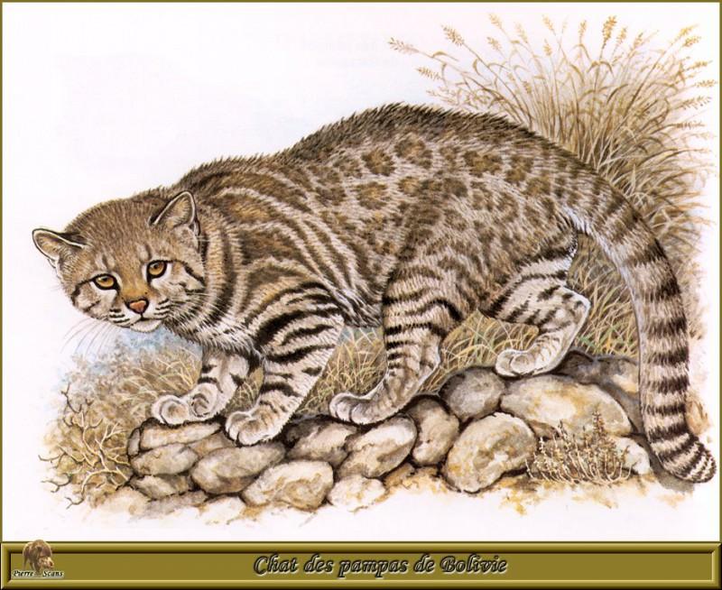 Chat des pampas de Bolivie. Robert Dallet