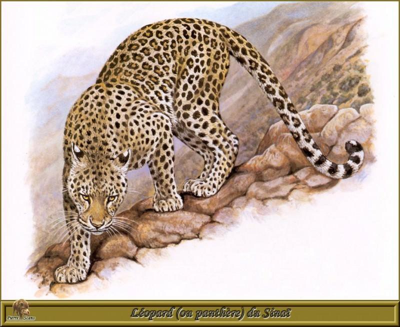 Синайский леопард (или пантера). Роберт Даллет