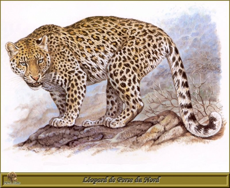 Lйopard de Perse du Nord. Robert Dallet