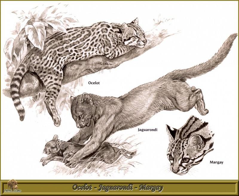 Ocelot Jaguarondi Margay. Robert Dallet
