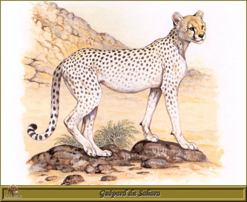 Guйpard du Sahara. Robert Dallet