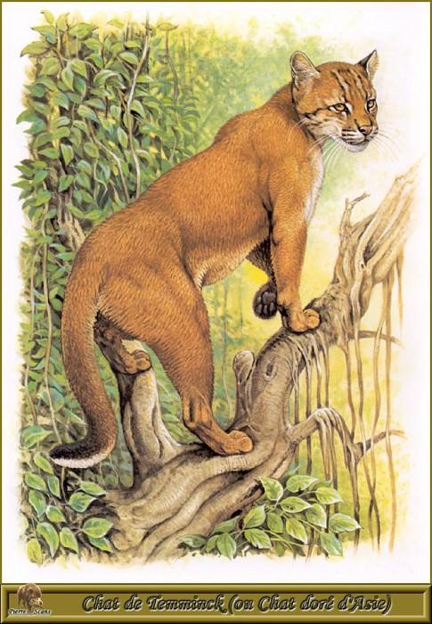 Кошка Темминка или Золотистая азиатская кошка. Роберт Даллет