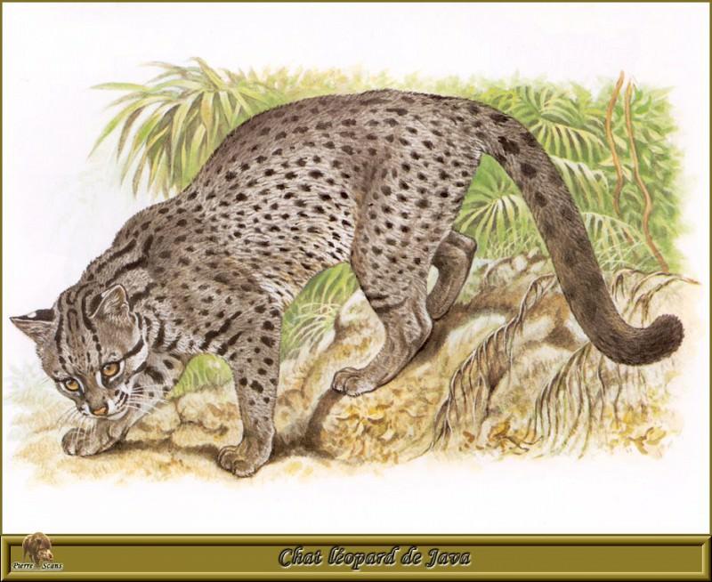 Яванская дикая кошка-леопард. Роберт Даллет