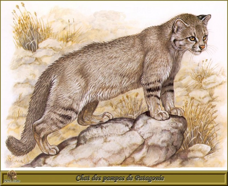 Chat des pampas de Patagonie. Robert Dallet