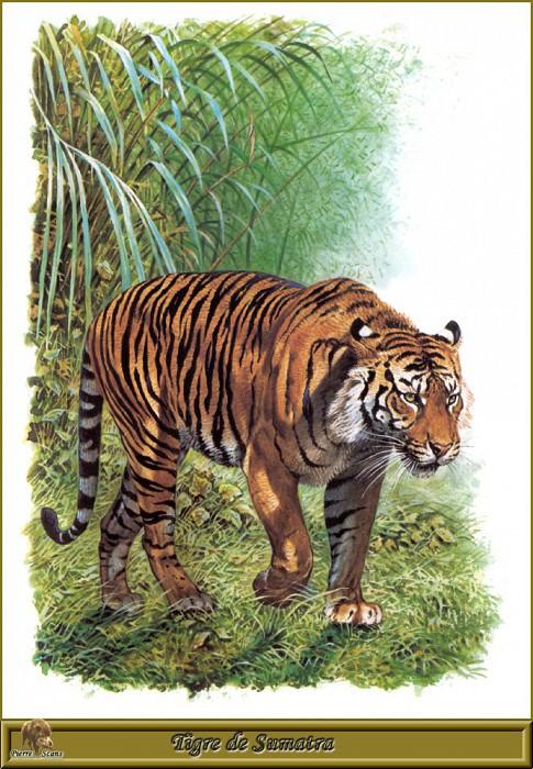 Tigre de Sumatra. Robert Dallet