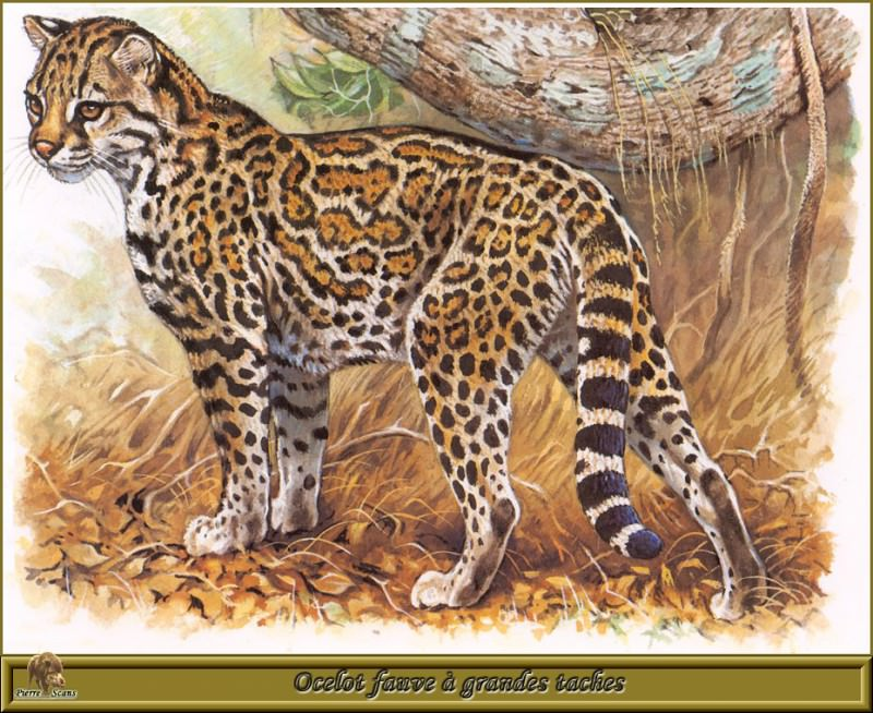 Ocelot fauve а grandes taches. Robert Dallet