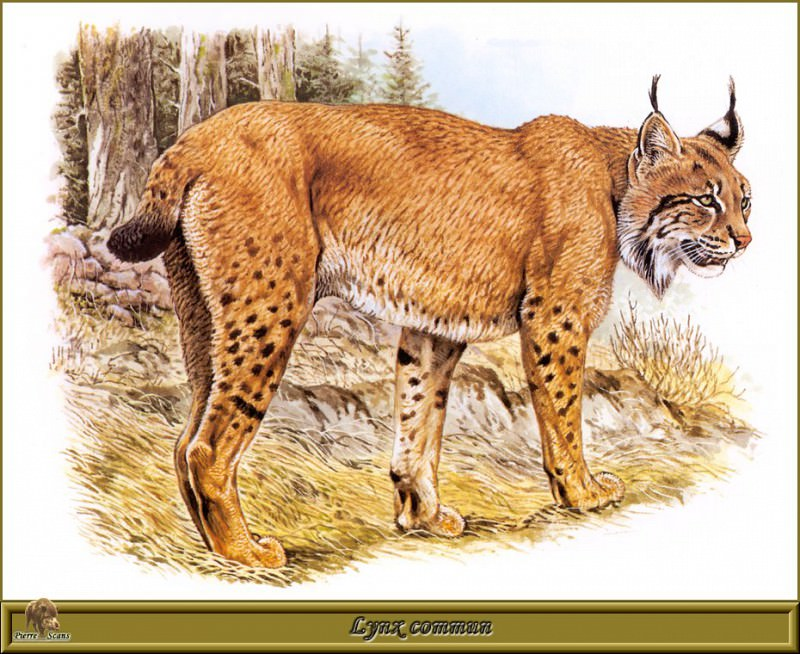 Lynx commun. Robert Dallet