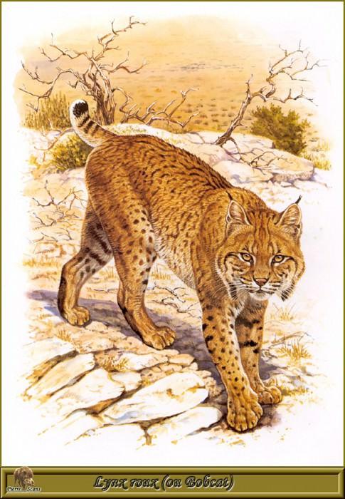 Lynx roux ou Bobcat. Robert Dallet