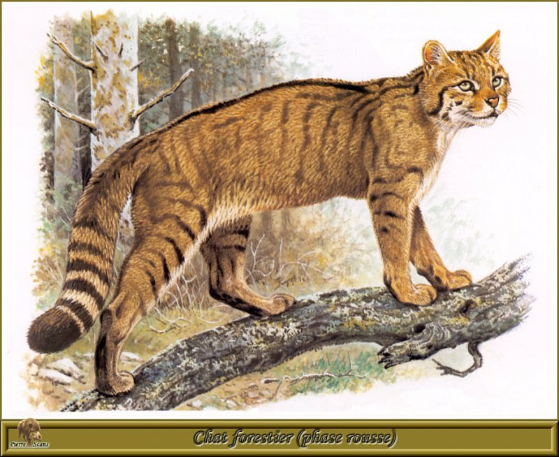 Chat forestier phase rousse. Robert Dallet