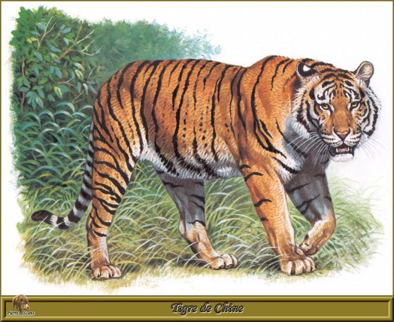 Tigre de Chine. Robert Dallet