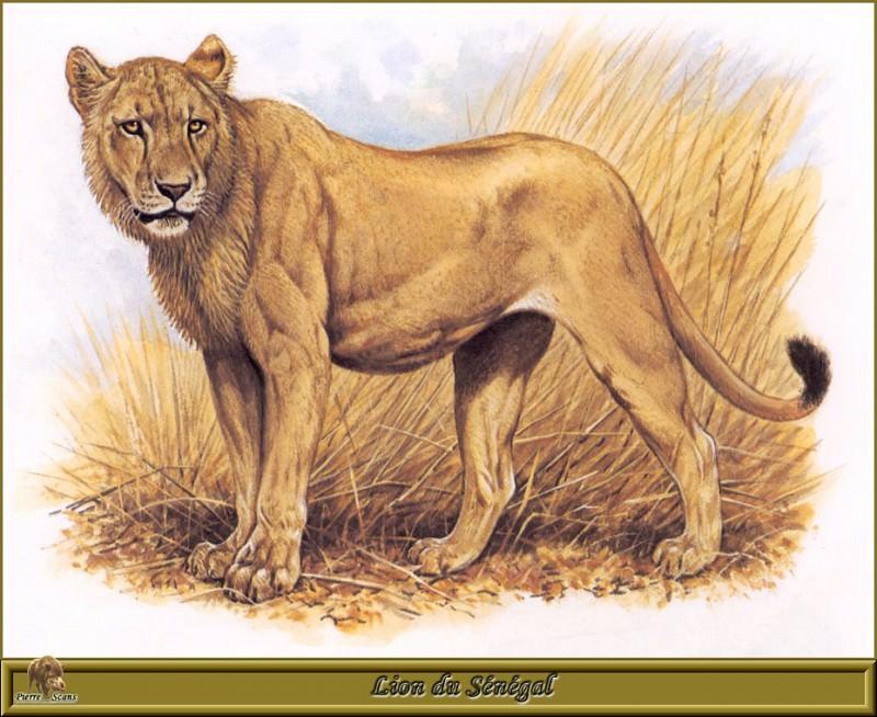Сенегальский лев. Роберт Даллет