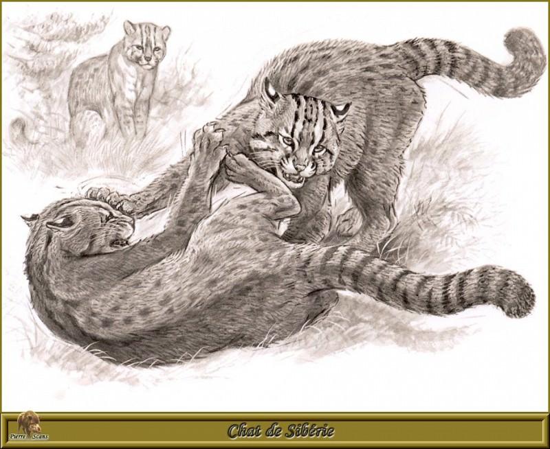 Chat de Sibйrie. Robert Dallet