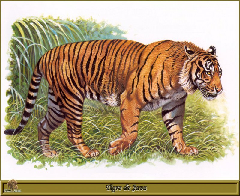 Tigre de Java. Robert Dallet