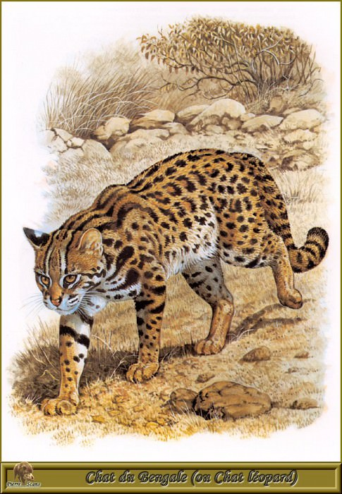Бенгальская дикая кошка или леопард. Роберт Даллет