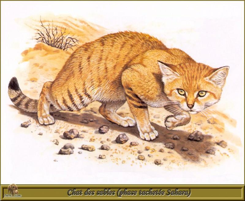 Песчаная дикая кошка в период пятнистой шкуры (Сахара). Роберт Даллет