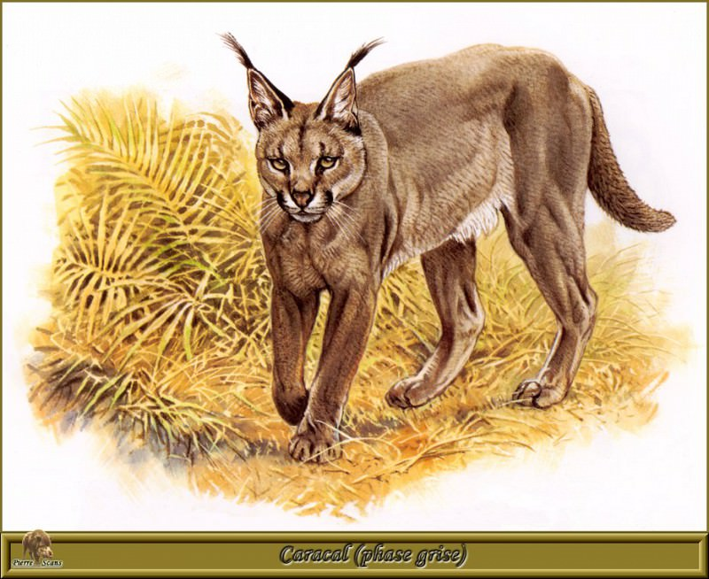 Caracal phase grise. Robert Dallet