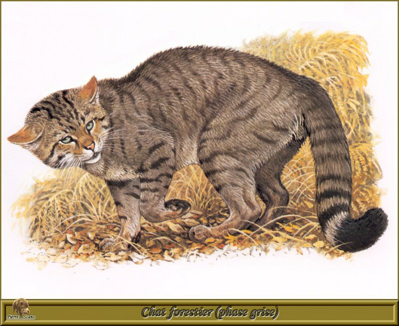 Chat forestier phase grise. Robert Dallet