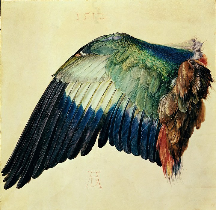 Wing of a Blue Roller. Albrecht Dürer