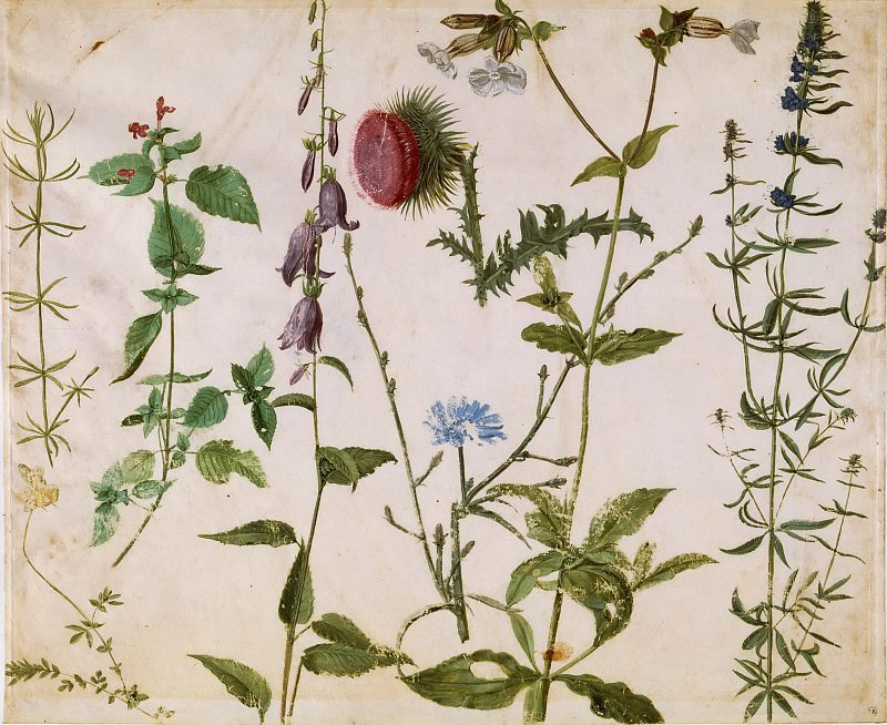 Eight studies of wildflowers. Albrecht Dürer