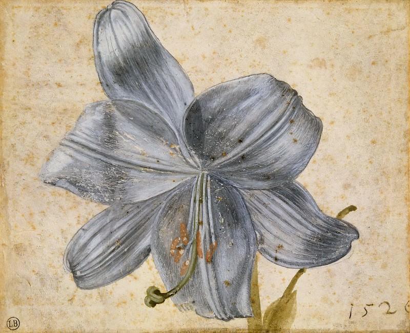 Study of a lily. Albrecht Dürer