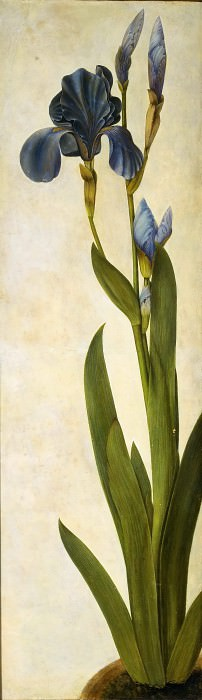 Iris. Albrecht Dürer