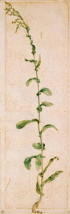 Tobacco plant. Albrecht Dürer