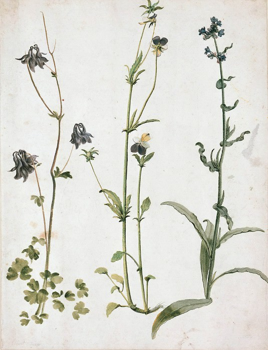 Columbine, Pansy, and Wild Bugloss. Albrecht Dürer