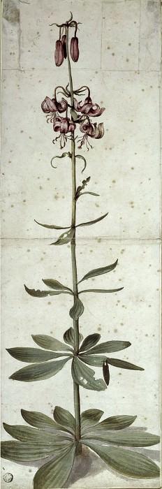 Lilium martagon. Albrecht Dürer