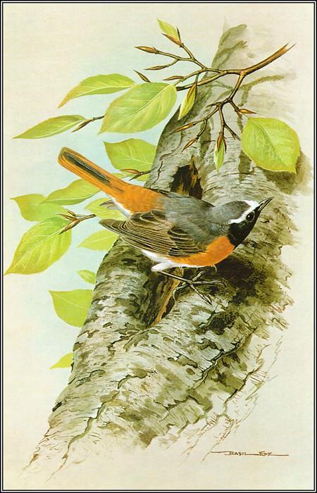 Redstart. Basil Ede