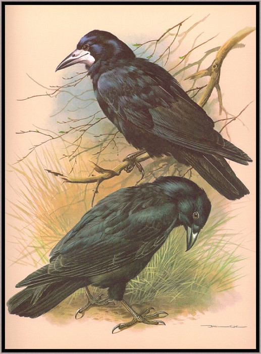 The Rook And The Carrion Crow. Basil Ede