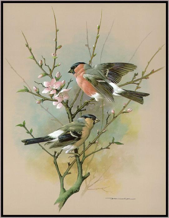 The Bullfinch. Basil Ede