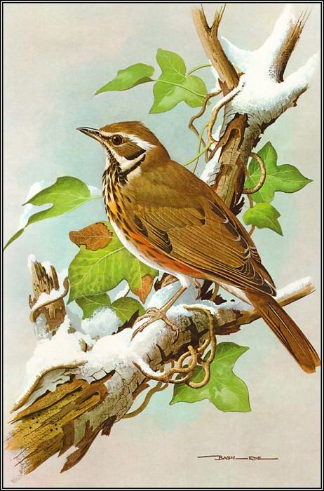 Redwing. Basil Ede