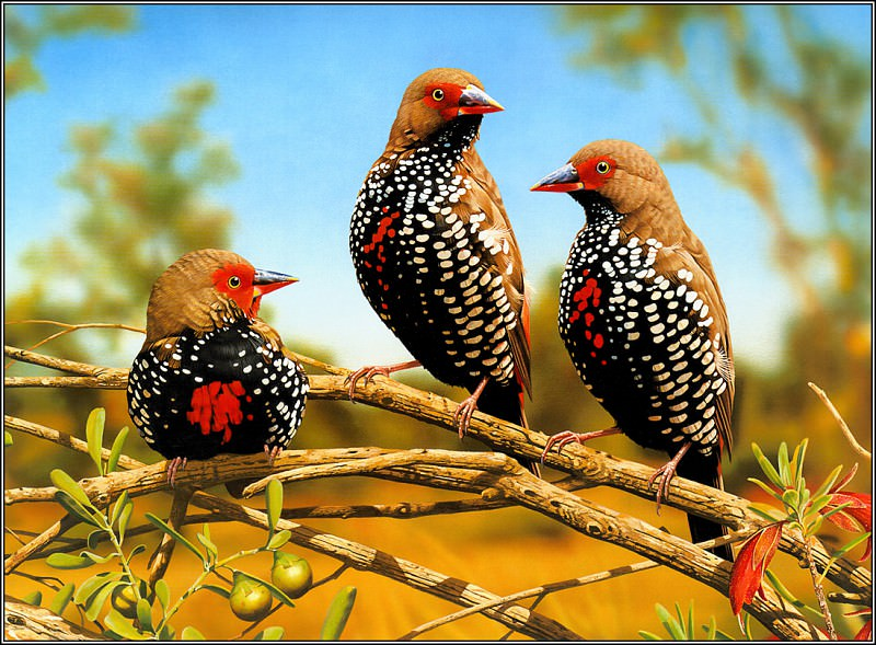 PaintedFinch. Ego Guiotto
