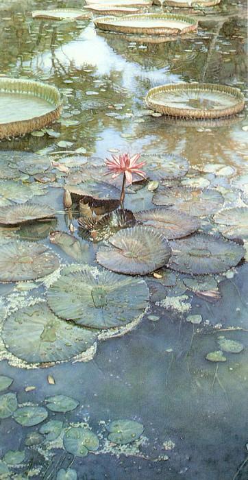 Water Lilies in Bloom. Steve Hanks