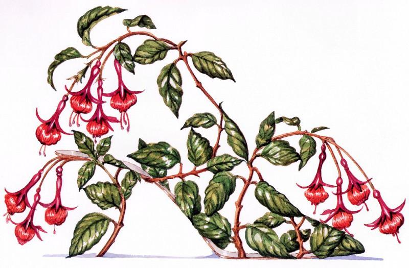 Fuchsia. Dennis Kyte